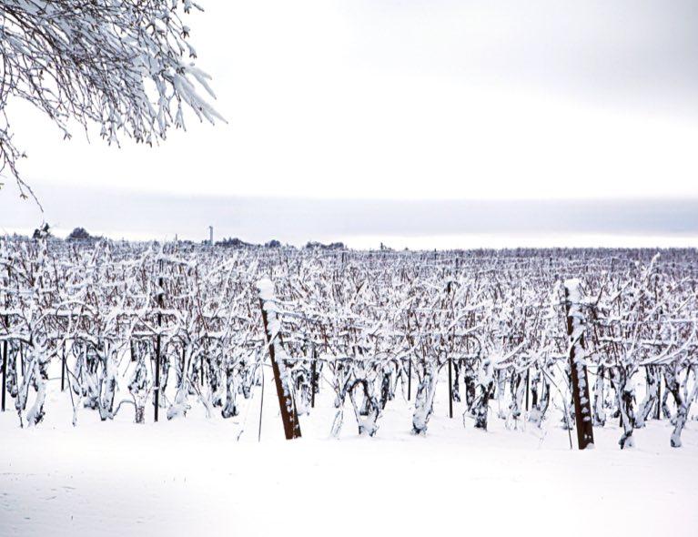 Vigne gelé au Québec