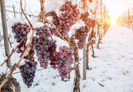 Le vin de glace de Québec et du Canada